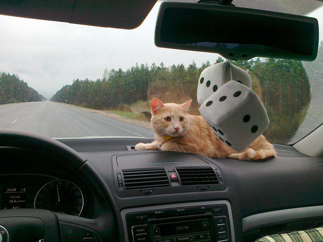 Кота зовут Чайзер. И он не понимает почему руль слева...