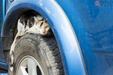 Кошки легко проникают под капот автомобиля.