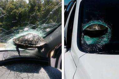 В США черепаха влетела в лобовое стекло автомобиля и застряла в нем (ВИДЕО)