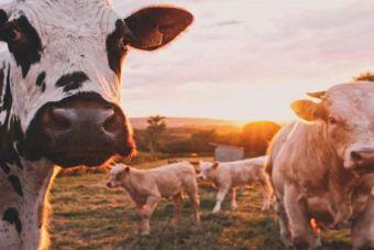 Исследование: домашний скот загрязняет воздух сильнее автомобилей